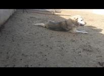 سگ پژدر اصیل  در شیپور-عکس کوچک