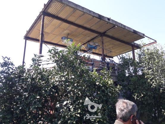 فروش زمین مرکبات با درختای سالم و قیمت مناسب در گروه خرید و فروش املاک در مازندران در شیپور-عکس2