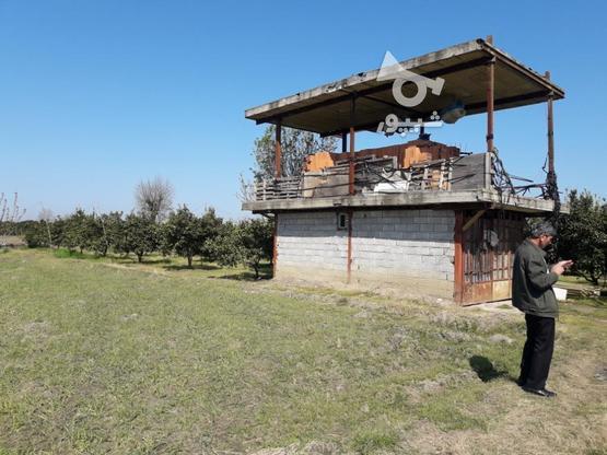فروش زمین مرکبات با درختای سالم و قیمت مناسب در گروه خرید و فروش املاک در مازندران در شیپور-عکس8