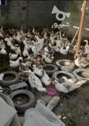 100عددتخم نطفه دار غاز محلی در گروه خرید و فروش ورزش فرهنگ فراغت در مازندران در شیپور-عکس2