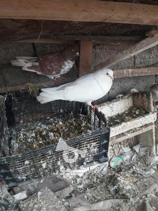 کبوتراس بالاهشت   در گروه خرید و فروش ورزش فرهنگ فراغت در مازندران در شیپور-عکس2