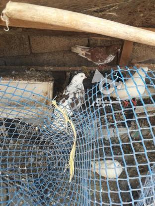 کبوتراس بالاهشت   در گروه خرید و فروش ورزش فرهنگ فراغت در مازندران در شیپور-عکس3