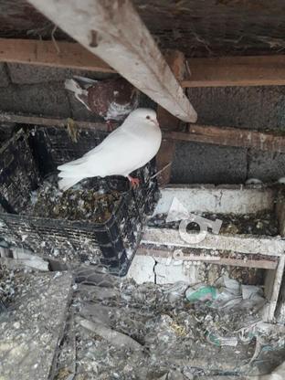 کبوتراس بالاهشت   در گروه خرید و فروش ورزش فرهنگ فراغت در مازندران در شیپور-عکس1