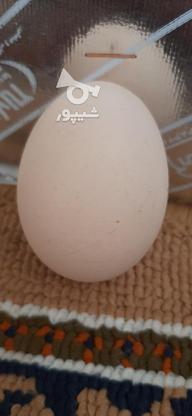 تخم لاری محلی در گروه خرید و فروش ورزش فرهنگ فراغت در خراسان شمالی در شیپور-عکس2