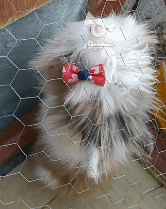 خرگوش خارجی در گروه خرید و فروش ورزش فرهنگ فراغت در اصفهان در شیپور-عکس1