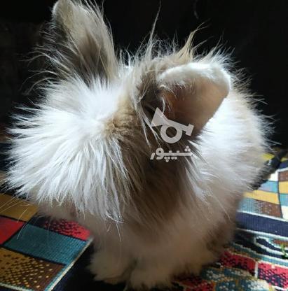 خرگوش خارجی در گروه خرید و فروش ورزش فرهنگ فراغت در اصفهان در شیپور-عکس2