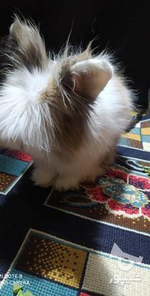 خرگوش خارجی در گروه خرید و فروش ورزش فرهنگ فراغت در اصفهان در شیپور-عکس5