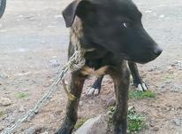 سگ افقان نر باپدرمادراصیل در شیپور-عکس کوچک