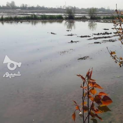 فروش زمین شالیزار سند دار در گروه خرید و فروش املاک در گیلان در شیپور-عکس1