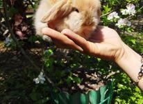 خرگوش های لوپ فول کیفیت  در شیپور-عکس کوچک