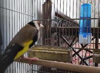 سهره دهن دار متولّد قفس  در شیپور-عکس کوچک