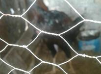 تخم مرغ لاری در شیپور-عکس کوچک