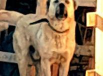 سگ سرابی گله در شیپور-عکس کوچک