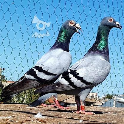 کبوتران فروشی .... در گروه خرید و فروش ورزش فرهنگ فراغت در البرز در شیپور-عکس5