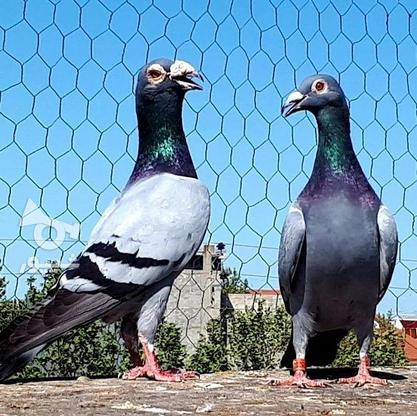 کبوتران فروشی .... در گروه خرید و فروش ورزش فرهنگ فراغت در البرز در شیپور-عکس4