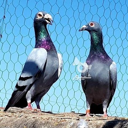 کبوتران فروشی .... در گروه خرید و فروش ورزش فرهنگ فراغت در البرز در شیپور-عکس3