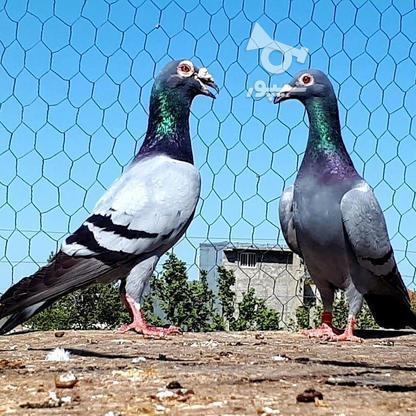 کبوتران فروشی .... در گروه خرید و فروش ورزش فرهنگ فراغت در البرز در شیپور-عکس2