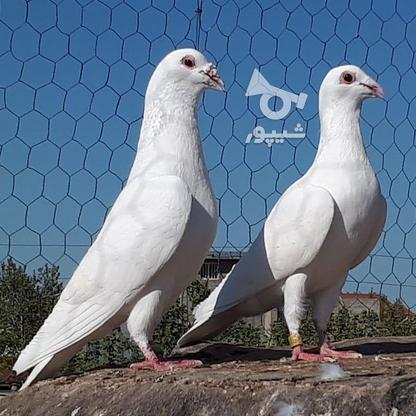 کبوتران فروشی .... در گروه خرید و فروش ورزش فرهنگ فراغت در البرز در شیپور-عکس8