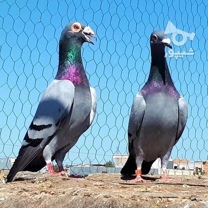 کبوتران فروشی .... در گروه خرید و فروش ورزش فرهنگ فراغت در البرز در شیپور-عکس7