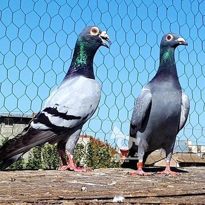 کبوتران فروشی .... در گروه خرید و فروش ورزش فرهنگ فراغت در البرز در شیپور-عکس6