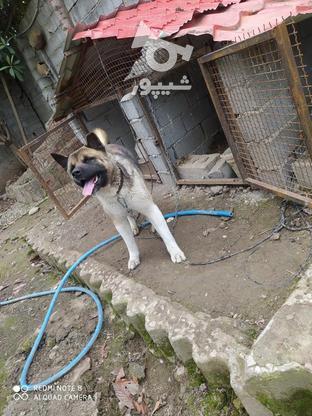 سگ آکیتا ژاپنی در گروه خرید و فروش ورزش فرهنگ فراغت در مازندران در شیپور-عکس3