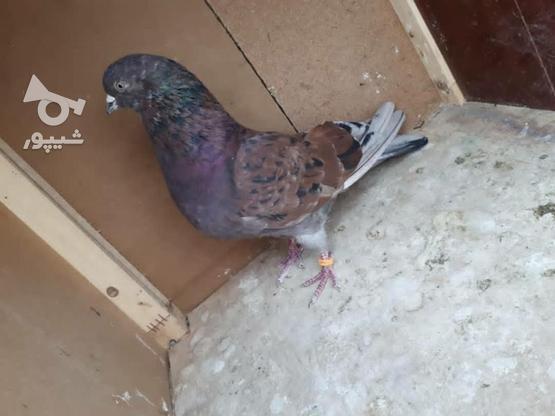 کبوتر پرشی پرش سنگین در گروه خرید و فروش ورزش فرهنگ فراغت در سمنان در شیپور-عکس1