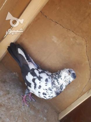 کبوتر پرشی پرش سنگین در گروه خرید و فروش ورزش فرهنگ فراغت در سمنان در شیپور-عکس2