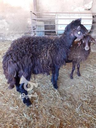 فروش بره قوچ هموزیگوت در گروه خرید و فروش ورزش فرهنگ فراغت در زنجان در شیپور-عکس2