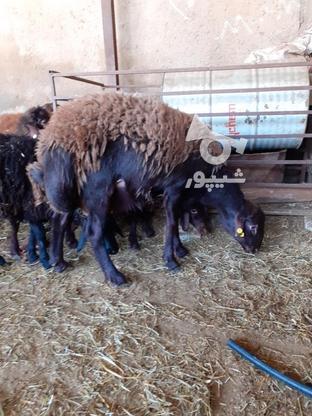 فروش بره قوچ هموزیگوت در گروه خرید و فروش ورزش فرهنگ فراغت در زنجان در شیپور-عکس3