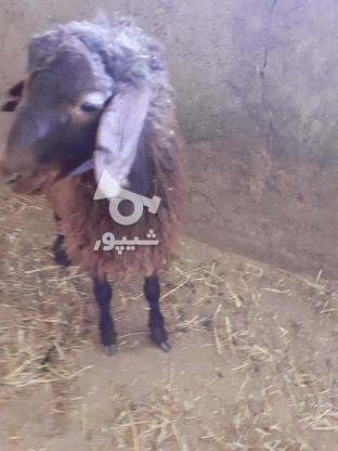 فروش بره قوچ هموزیگوت در گروه خرید و فروش ورزش فرهنگ فراغت در زنجان در شیپور-عکس5