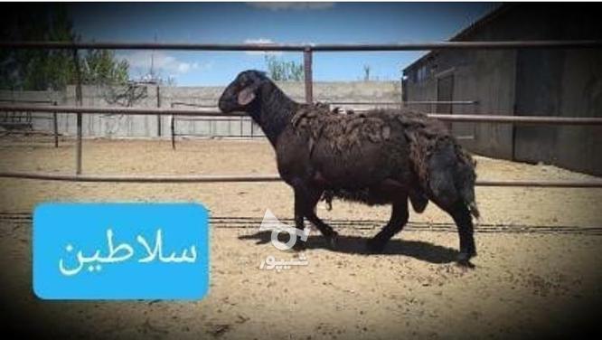 بره نر و قوچهای ژندار در گروه خرید و فروش ورزش فرهنگ فراغت در زنجان در شیپور-عکس6