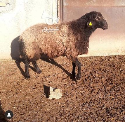 بره نر و قوچهای ژندار در گروه خرید و فروش ورزش فرهنگ فراغت در زنجان در شیپور-عکس4