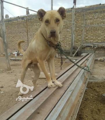 سگ سرابی اصل  در گروه خرید و فروش ورزش فرهنگ فراغت در زنجان در شیپور-عکس1
