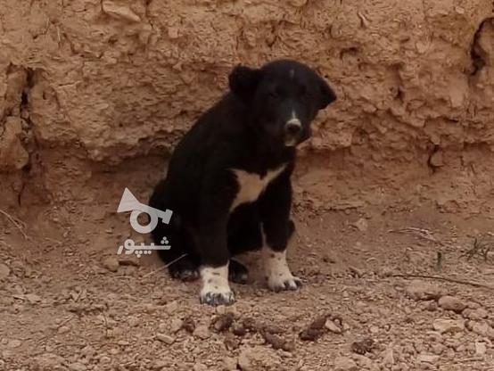 توله سگ سیاه در گروه خرید و فروش ورزش فرهنگ فراغت در اصفهان در شیپور-عکس2