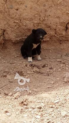 توله سگ سیاه در گروه خرید و فروش ورزش فرهنگ فراغت در اصفهان در شیپور-عکس4