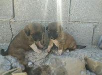 سگ با مزه وباهوش 7 روزه در شیپور-عکس کوچک