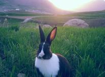 یک خرگوش نر باهوش زیبا و جوان در شیپور-عکس کوچک