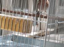 بلبل خمسه نر جوجه قفس رام  در شیپور-عکس کوچک