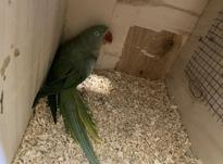 فروش چند جفت طوطی ملنگو و شاهطوطی مولد به شرط در شیپور-عکس کوچک