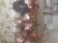 مرغ محلی و لاری در شیپور-عکس کوچک