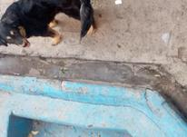 سگ چهار چشم نگهبان در شیپور-عکس کوچک