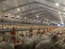 کارگر ساده جهت کار در مرغداری در شیپور