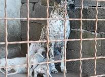 فروش سگ دالمیشن (101سگ خالدار) در شیپور-عکس کوچک