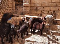 فروش گوسفند بره دار در شیپور-عکس کوچک