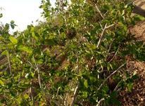 زمین پسته درجه یک  در شیپور-عکس کوچک