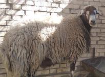 قوچ جوان شیشک  در شیپور-عکس کوچک