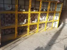 قفس کفتروتوربندفنی سگ در شیپور