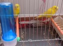 جفت مرغ عشق سرحال با قفس در شیپور-عکس کوچک