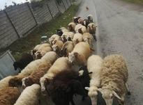 فروش گوسفند ابستن بره نرو ماده در شیپور-عکس کوچک