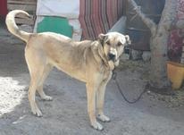 سگ ماده سرابی در شیپور-عکس کوچک